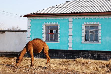 camel_01